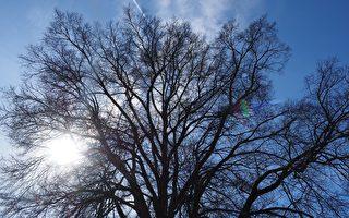 恐树枝掉落伤人 墨尔本房主申请砍树遭拒