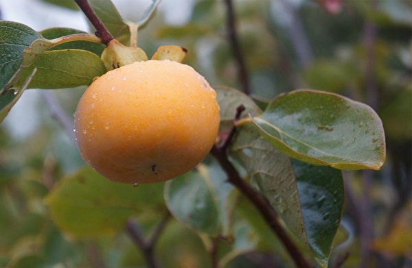 柿子富含碘,有保护甲状腺的作用