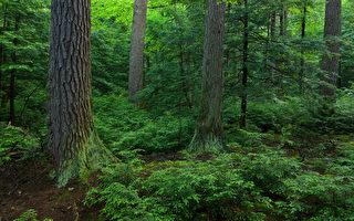 阿岡昆公園發現一棵408歲鐵杉樹