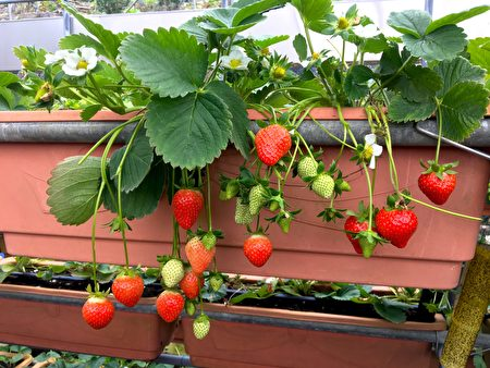 結實纍纍的草莓。