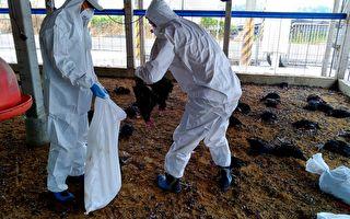 屏东盐埔确诊禽流感   扑杀3万只黑羽土鸡