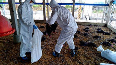 屏东县盐埔乡一处土鸡场家禽异常死亡,确认感染H5N2亚型高病原禽流感病毒,现场扑杀有3万只黑羽土鸡。
