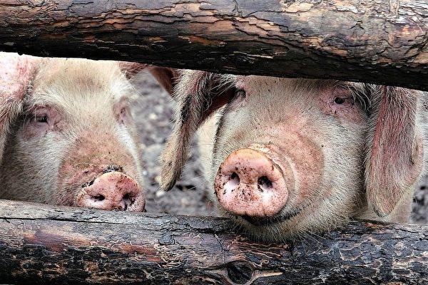 雲南再爆非洲豬瘟 大陸10月生豬價大漲