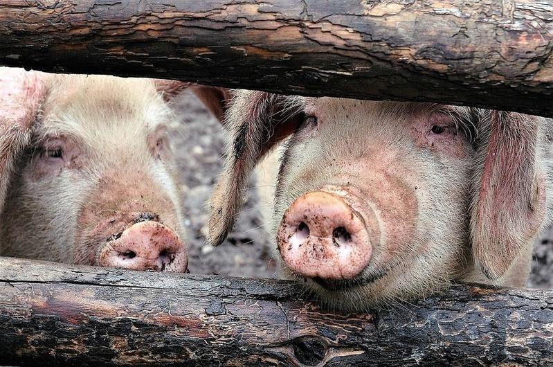 韓國現6例非洲豬瘟 疫情擴散至朝鮮全國