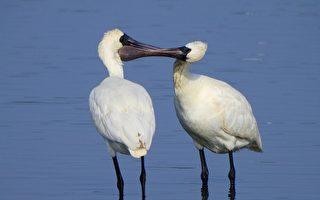 高雄永安湿地黑面琵鹭群聚 175只娇客创新高