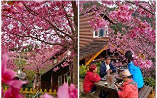 台湾樱花比日本还美?摄影师推荐赏樱秘境