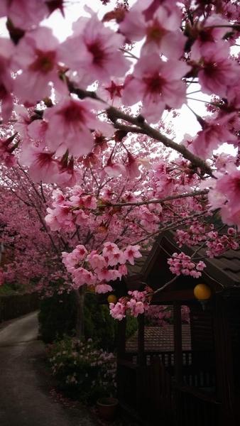 台灣櫻花比日本還美? 攝影師推薦賞櫻祕境