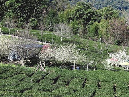 好幾株粉紅河津櫻、雪白李花,點綴著整片翠綠的茶園。