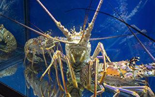 MIT研究:龙虾腹坚似工业橡胶
