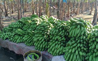 蕉農控收購價被壟斷 農糧署:公平會調查中