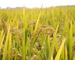 【文史】聽「年」的聲音 「稻」年年有餘