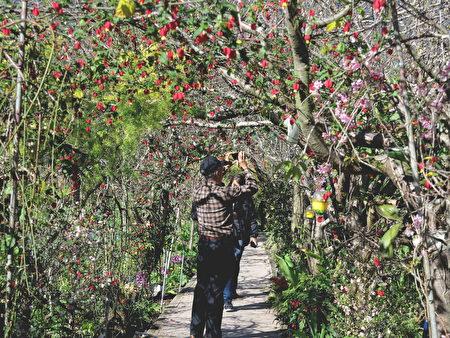 草坪頭的櫻花小步道有許多特別栽種的櫻花品種,讓遊客可以與花近距離接觸。