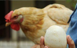 """基因编辑让母鸡下出""""抗癌鸡蛋"""""""