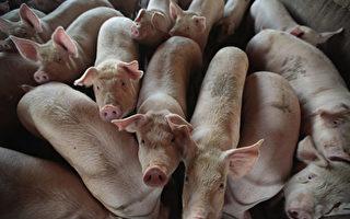 中國新年期間 湖南永州現非洲豬瘟疫情