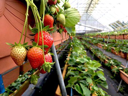鮮嫩欲滴的草莓。