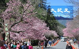 武陵农场樱花满开 赏花游客手脚要快