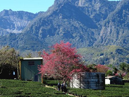 繞到草坪頭茶園裡走走,還可能找到幾棵滿枝頭開放的櫻花。