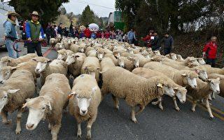 台14甲封路奔羊 清境游客体验牧羊趣