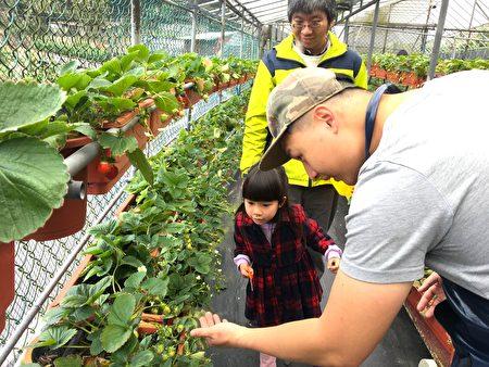 郭先生為遊客介紹草莓生態。