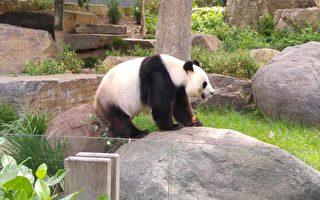 福妮再次假孕 阿德莱德大熊猫面临被送回国