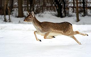 一头鹿冲向奥沙瓦一酒吧 破窗而入