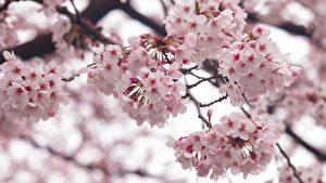 春日兰亭宴曲水流东瀛 春风起雪樱花香