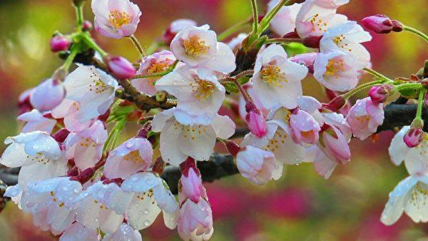 台灣阿里山花季櫻王滿開 吸引遊客賞櫻