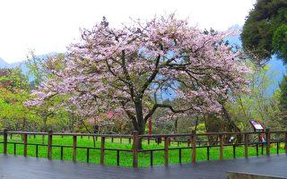 组图:台阿里山花季樱王满开 吸引游客赏樱