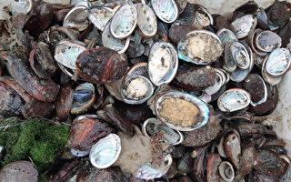 贡寮九孔养殖业指中国鲍鱼倾销 吁政府管制
