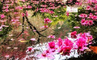 """组图:""""落樱缤纷""""若梦境 武陵农场樱花之美"""