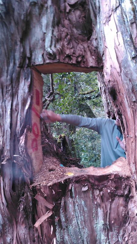 山老鼠盗伐明池桧木 检起诉13人