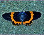 【無魚坊的攝影心視界】橙帶精靈藍尺蛾