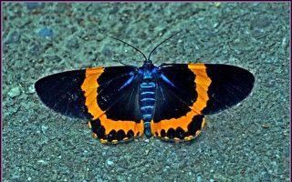 【无鱼坊的摄影心视界】橙带精灵蓝尺蛾
