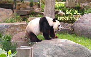 """德媒施压 要求默克尔给熊猫起名""""香港"""""""