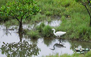 許厝港3年3億元 打造以鳥為本水鳥濕地樂園