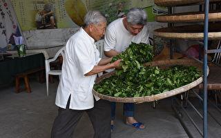 手工製茶列文化資產 蘇文昭傳承凍頂茶香