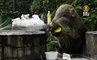 香港野猪逛大街 恐成隐患