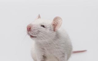 善心老鼠偷偷幫英老翁清理桌子 鏡頭全都錄