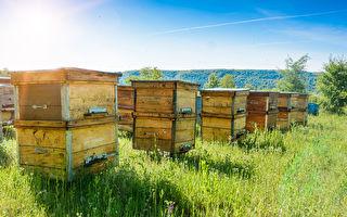 750亩牧场变护蜂园 摩根·弗里曼开心喂蜜蜂