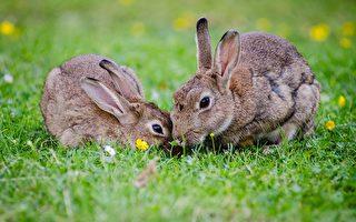 Wyndham Council市政厅展开灭兔行动 宠物主人需小心