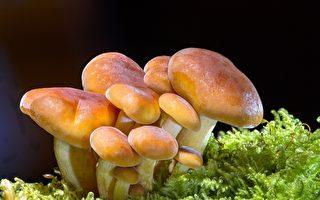 墨爾本母親後院種蘑菇供不應求