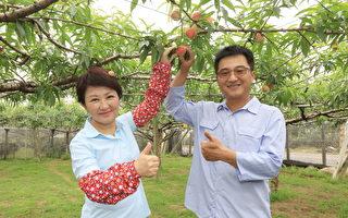 新社甜桃成熟了 採果旅遊正當時