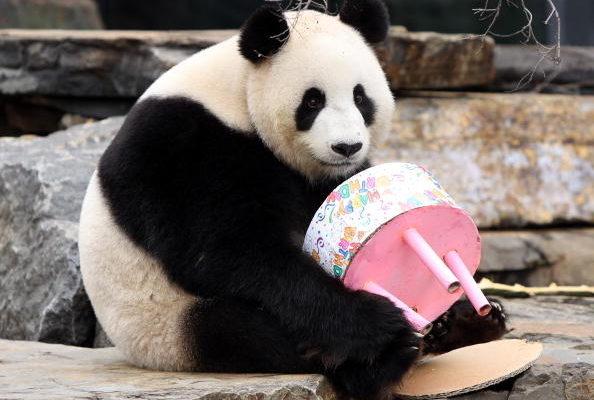 大熊貓背後的「鐵拳」 丹麥擔憂