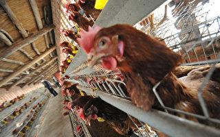 猪肉价领涨 鸡价飙升 鸡苗价再创历史新高