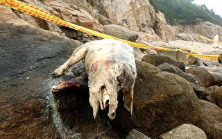 大陸海漂金門死豬又驗出非洲豬瘟 累計5頭