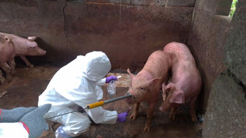 陳思敏:中共「豬麻煩」大了