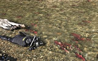 吳永森拍紅鮭獲獎 水中趴30小時捕捉一瞬間