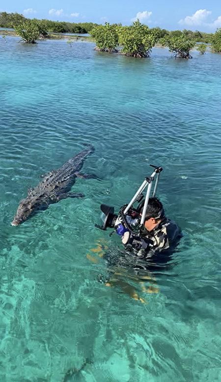 吴永森拍摄美洲咸水鳄