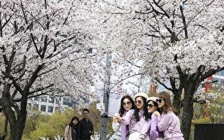 组图:首尔汝矣岛樱花开 游客抢拍美照