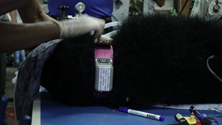 小熊野放後的下個任務是衛星追蹤研究及棲地巡護,身上已掛上耳標及衛星發報頸圈,掌握小熊行蹤。